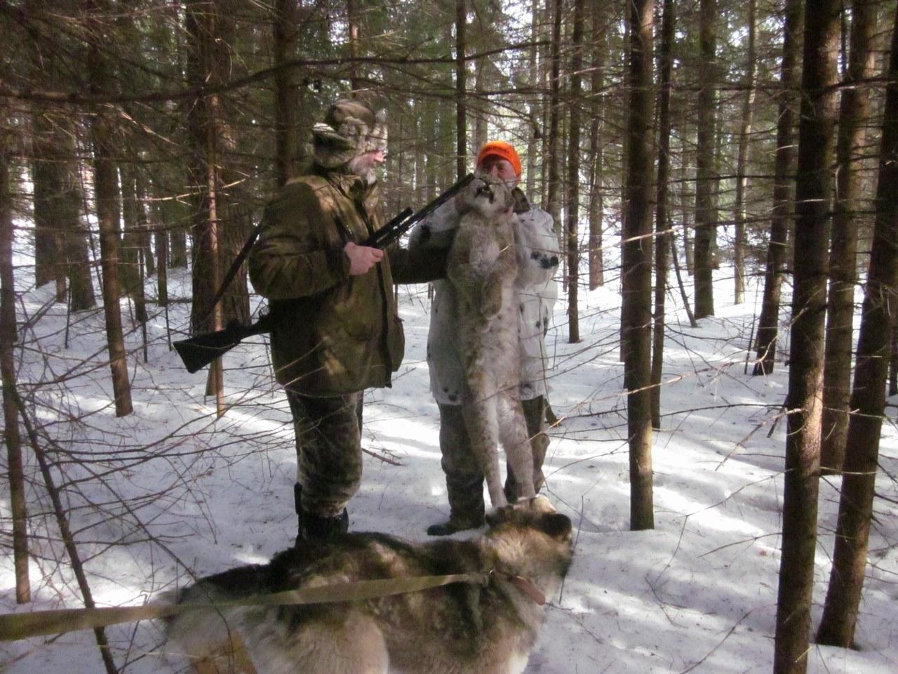 Eurasian Lynx Hunting